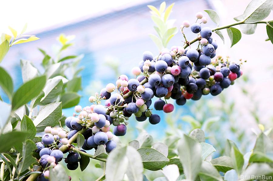 Yokohama-Blueberry-Farm-Harvest_14.1