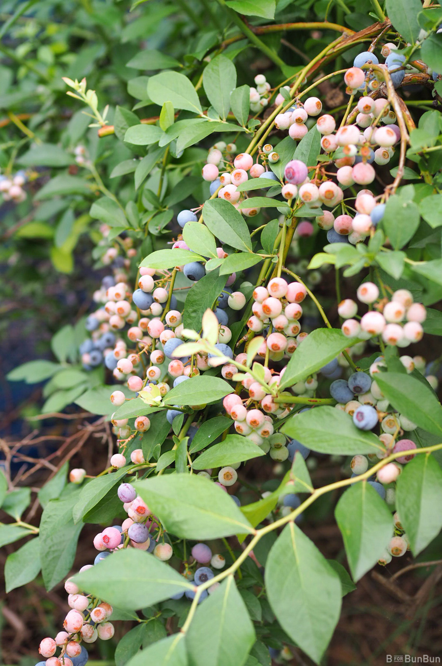 Yokohama-Blueberry-Farm-Harvest_2